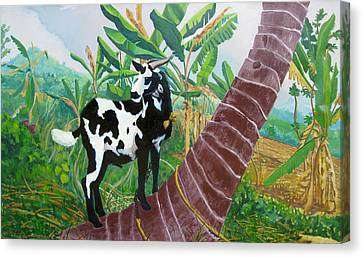 Jamaican Goat In A Tree Canvas Print by D T LaVercombe