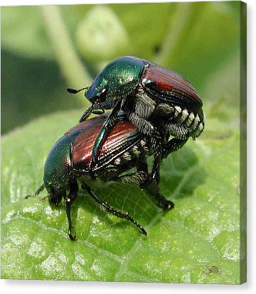 Japanese Beetles Mating Canvas Print by Matt Cormons