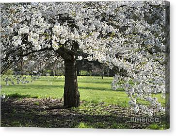 Japanese Cherry Tree Canvas Print by Tim Gainey