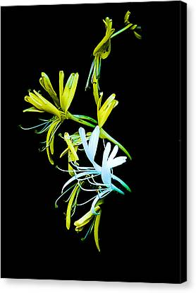 Canvas Print featuring the photograph Japanese Honeysuckle by Bill Barber