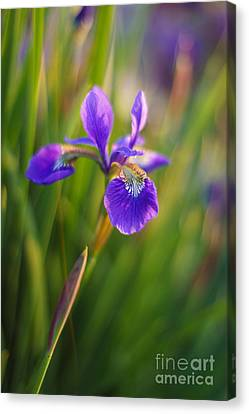 Japanese Iris Vibrant Canvas Print by Mike Reid