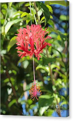Florida Flowers Canvas Print - Japanese Lanterns Hibiscus by Carol Groenen
