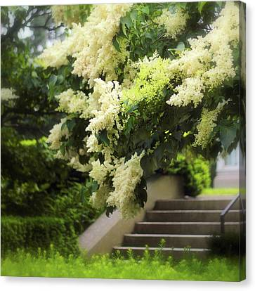 Japanese Lilac Bloom Canvas Print by Jessica Jenney