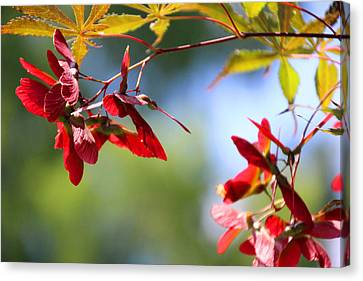 Japanese Maple 1782 Canvas Print by Carolyn Stagger Cokley