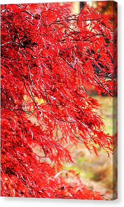 Japanese Maple 9 Canvas Print by Tanya  Searcy