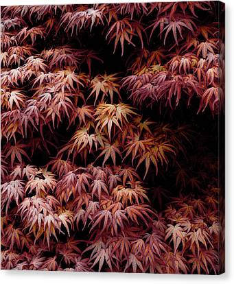 Japanese Maple, Acer Palmatum Seigen Canvas Print by Frank Tschakert