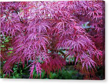 Japanese Maple Cool Waters Canvas Print