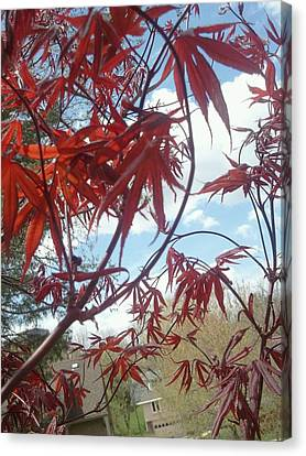 Japanese Maple Leafing Out Canvas Print