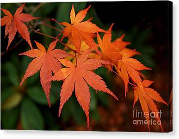 Japanese Maple Leaves Canvas Print by Patricia Strand