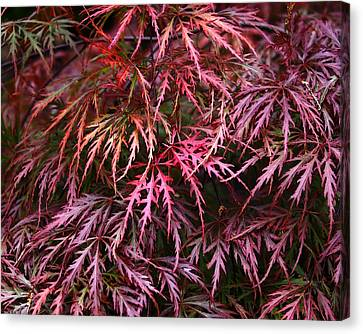 Japanese Maple Canvas Print by Rona Black