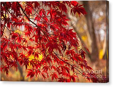 Japanese Maples Canvas Print by Susan Cole Kelly