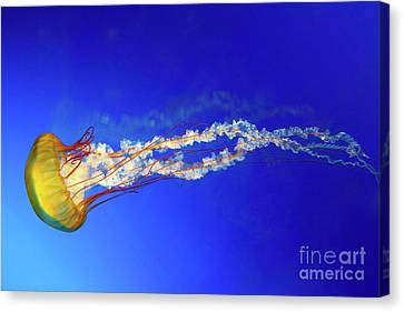 Japanese Sea Nettle Jellyfish Canvas Print by Jane Rix