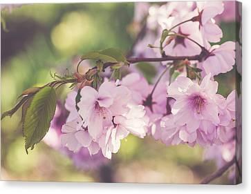 Japanese Tree In Bloom Canvas Print by Cindy Grundsten