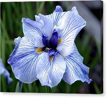 Japanese Water Iris In Blue 2695 H_3 Canvas Print