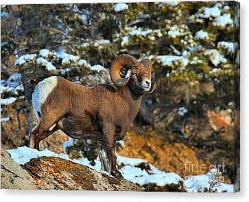 Jasper Bighorn On The Lookout Canvas Print by Adam Jewell