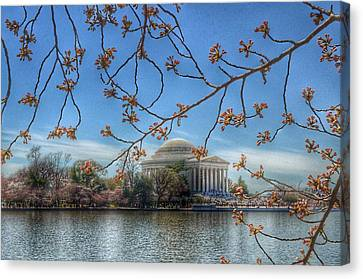Jefferson Memorial - Cherry Blossoms Canvas Print by Marianna Mills
