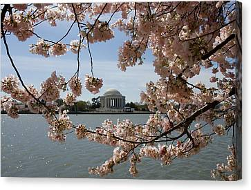 Jefferson Memorial Framed By Cherry Blossoms Canvas Print by Brendan Reals