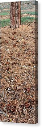 Jeffrey Pine Trunk And Pine Cones Canvas Print
