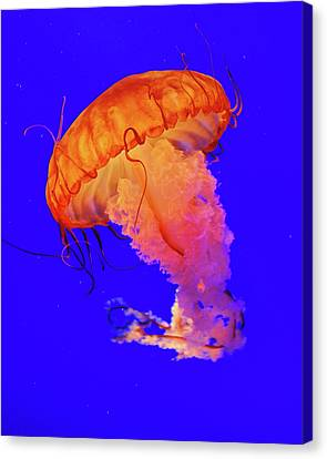 Jelly Fish Canvas Print by Davidhuiphoto