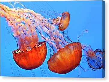 Jelly Fish Canvas Print by Jill Buschlen