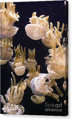 Jelly Parade Canvas Print by Jim and Emily Bush