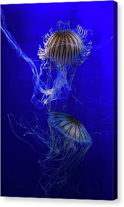 Jellyfish Canvas Print by Pati Photography