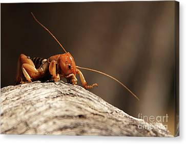 Jerusalem Cricket On Textured Log Canvas Print by Max Allen