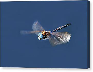 Dragonfly Eyes Canvas Print - Jet Blue by Donna Kennedy