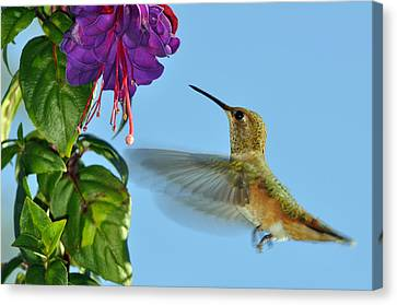 Humming Birds Canvas Print - Jeweled Rufous In Afternoon Light by Laura Mountainspring