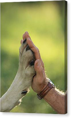 Jim Dutcher Places His Hand To The Paw Canvas Print by Jim And Jamie Dutcher