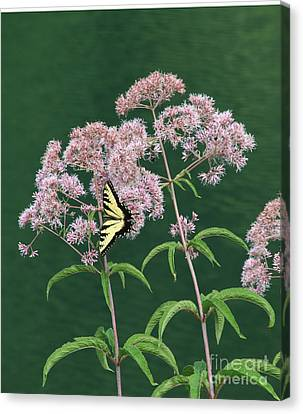Joe Pye Weed Canvas Print