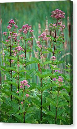 Joe-pye Weed Canvas Print by Mary McAvoy