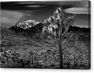 Canvas Print featuring the photograph Joshua Tree In Black And White In Joshua Park National Park With The Little San Bernardino Mountains by Randall Nyhof