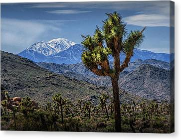 Canvas Print featuring the photograph Joshua Tree In Joshua Park National Park With The Little San Bernardino Mountains In The Background by Randall Nyhof