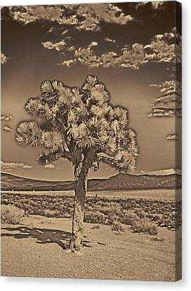 Joshua Tree Canvas Print by Jim Cook