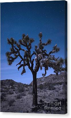 Starlight Canvas Print - Joshua Tree by Juli Scalzi