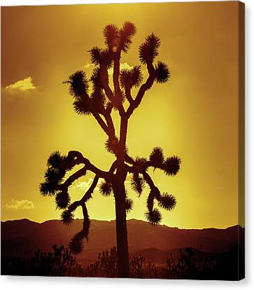 Canvas Print featuring the photograph Joshua Tree by Stephen Stookey