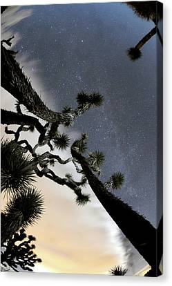 Joshua Tree Two Canvas Print by Mike Lindwasser Photography