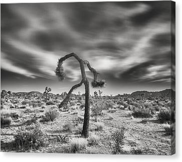 Joshua Tree With Cloudscape Canvas Print