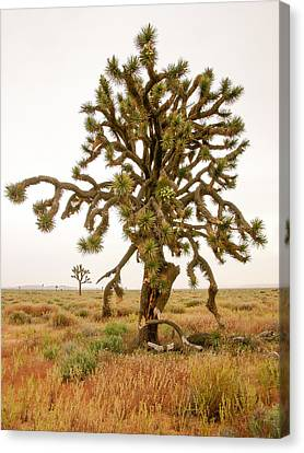 Joshua Trees In Desert Canvas Print
