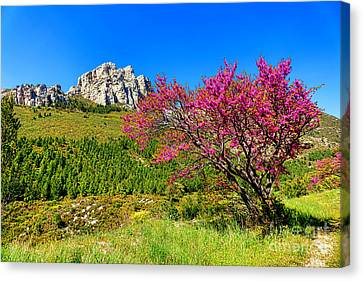 Canvas Print featuring the photograph Judas Tree In Sainte Baume by Olivier Le Queinec