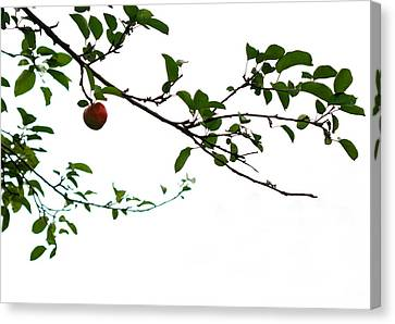 Juicy   A Tempting Photograph Of A Tasty Ripe Red Apple On A Tree  Canvas Print