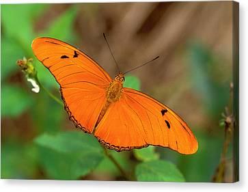 Julia Butterfly Canvas Print by Alan Lenk