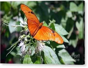 Julia Butterfly Canvas Print by Kelly Holm
