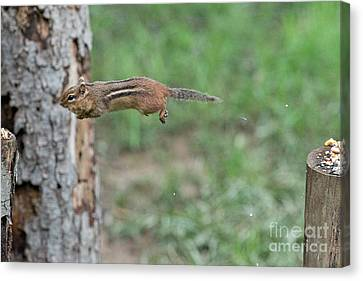 Jumping Comes Naturally  Canvas Print by Dan Friend