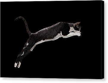 Jumping Cornish Rex Cat Isolated On Black Canvas Print by Sergey Taran