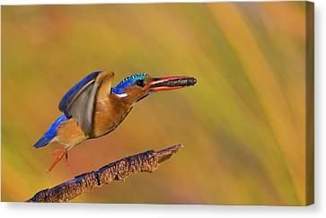 Jumping Jewel Canvas Print by Basie Van Zyl