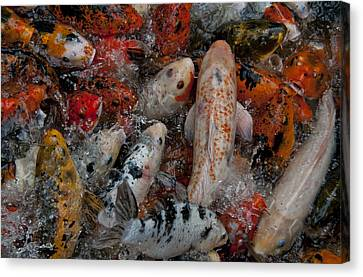 Jumping Koi Canvas Print by Wilma  Birdwell