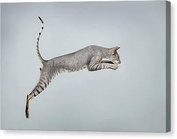 Jumping Peterbald Sphynx Cat On White Canvas Print by Sergey Taran