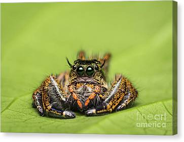 Jumping Spider On Green Leaf. Canvas Print by Tosporn Preede
